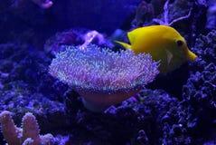 Anemone θάλασσας και κίτρινα ψάρια στο κατώτατο σημείο της θάλασσας Στοκ Εικόνα