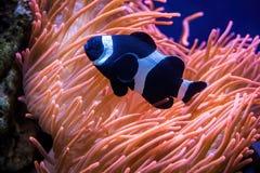 Anemone θάλασσας και μαύρα ψάρια κλόουν Στοκ Εικόνα