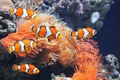 Anemone θάλασσας και ψάρια κλόουν Στοκ φωτογραφία με δικαίωμα ελεύθερης χρήσης