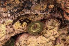 Anemone θάλασσας Καλιφόρνιας Στοκ εικόνες με δικαίωμα ελεύθερης χρήσης