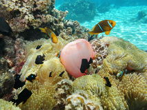 Anemone θάλασσας με τα ψάρια anemonefish γαλλική Πολυνησία Στοκ φωτογραφία με δικαίωμα ελεύθερης χρήσης