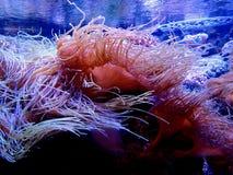 Anemone θάλασσας σε ένα ενυδρείο Στοκ Εικόνες
