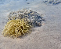 Anemone θάλασσας στον αμμώδη πυθμένα της θάλασσας Στοκ Εικόνες
