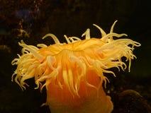 Anemone θάλασσας Στοκ φωτογραφία με δικαίωμα ελεύθερης χρήσης