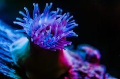 Anemone θάλασσας (anemone) Στοκ Εικόνα