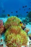 anemone θαυμάσιο Στοκ Εικόνες