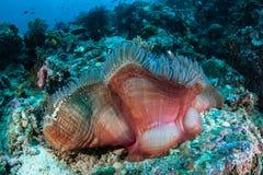 anemone θαυμάσιο Στοκ εικόνες με δικαίωμα ελεύθερης χρήσης