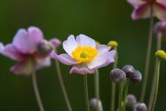 anemone ιαπωνικά Στοκ Φωτογραφία