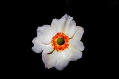 anemone ιαπωνικά Στοκ εικόνα με δικαίωμα ελεύθερης χρήσης