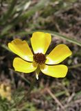 anemone κίτρινο στοκ εικόνες