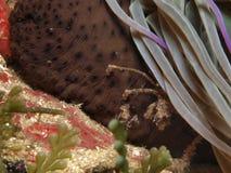 Anemone καβουριών και θάλασσας Στοκ εικόνα με δικαίωμα ελεύθερης χρήσης