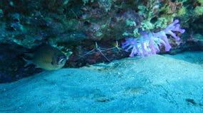 Anemone και γαρίδα θάλασσας Στοκ Εικόνες