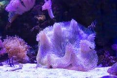 Anemone και κοράλλι θάλασσας στην άμμο πέρα από το βαθύ μπλε υπόβαθρο Στοκ εικόνα με δικαίωμα ελεύθερης χρήσης