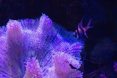Anemone και κοράλλι θάλασσας στην άμμο πέρα από το βαθύ μπλε υπόβαθρο Στοκ φωτογραφίες με δικαίωμα ελεύθερης χρήσης