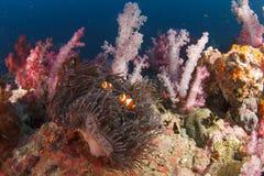 Anemone και κοράλλι Στοκ εικόνα με δικαίωμα ελεύθερης χρήσης