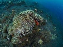 Anemone και ψάρια anemone Στοκ φωτογραφίες με δικαίωμα ελεύθερης χρήσης