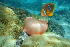 Anemone και anemonefish Ειρηνικός Ωκεανός θάλασσας Στοκ Φωτογραφίες