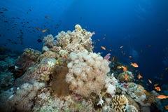 Anemone και anemonefish στη Ερυθρά Θάλασσα. Στοκ Εικόνα