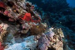 Anemone και anemonefish στη Ερυθρά Θάλασσα. Στοκ Εικόνες