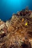 Anemone και anemonefish στη Ερυθρά Θάλασσα. Στοκ φωτογραφίες με δικαίωμα ελεύθερης χρήσης