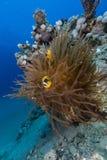 Anemone και anemonefish στη Ερυθρά Θάλασσα. Στοκ φωτογραφία με δικαίωμα ελεύθερης χρήσης