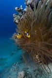 Anemone και anemonefish στη Ερυθρά Θάλασσα. Στοκ Φωτογραφίες