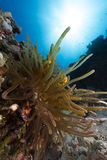 Anemone και anemonefish στη Ερυθρά Θάλασσα. Στοκ εικόνες με δικαίωμα ελεύθερης χρήσης