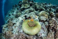 Anemone και Anemonefish στο σκόπελο Στοκ Εικόνες