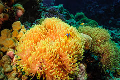 Anemone και clowfish Στοκ Φωτογραφία