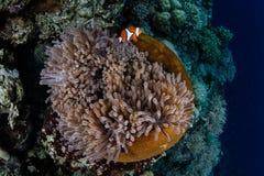 Anemone και Clownfish στην άκρη του σκοπέλου Στοκ Φωτογραφίες