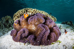 Anemone και Clownfish Στοκ φωτογραφίες με δικαίωμα ελεύθερης χρήσης