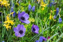 Anemone και daffodils πάροδος Στοκ εικόνα με δικαίωμα ελεύθερης χρήσης