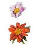 Anemone και Tithonia Speciosa Στοκ φωτογραφία με δικαίωμα ελεύθερης χρήσης