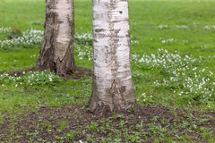 Anemone κοντά στις σημύδες Στοκ εικόνα με δικαίωμα ελεύθερης χρήσης