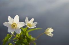 Anemone λουλουδιών Στοκ εικόνες με δικαίωμα ελεύθερης χρήσης