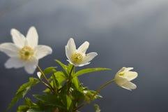 Anemone λουλουδιών Στοκ φωτογραφία με δικαίωμα ελεύθερης χρήσης