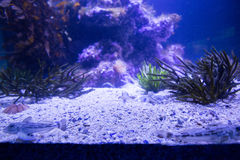 Anemone Μαύρης Θάλασσας σε μια δεξαμενή Στοκ Εικόνες