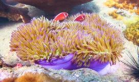 Anemone με ρόδινο Anemonefish Στοκ Φωτογραφίες