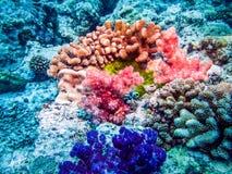 Anemone με τον κάτοικό του το clownfish Το ναυτικό τα κοράλλια Στοκ Φωτογραφίες