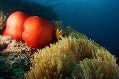Anemone με το clownfish Στοκ φωτογραφία με δικαίωμα ελεύθερης χρήσης