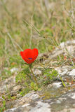 anemone μόνο Στοκ εικόνες με δικαίωμα ελεύθερης χρήσης