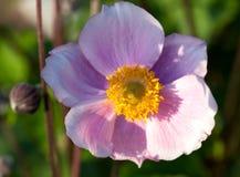 Anemone, οικογένεια Ranunculaceae Στοκ φωτογραφίες με δικαίωμα ελεύθερης χρήσης