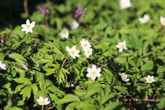 Anemone λουλουδιών άνοιξη Στοκ Εικόνες