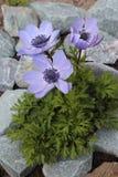 Anemone λουλουδιών που ανθίζει στον κήπο Στοκ Φωτογραφία