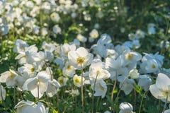 Anemone λουλουδιών Στοκ φωτογραφίες με δικαίωμα ελεύθερης χρήσης