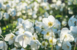 Anemone λουλουδιών Στοκ Εικόνες