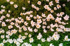 Anemone λουλουδιών Στοκ Εικόνα