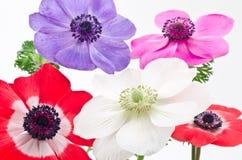 anemone πέντε λουλούδια Στοκ Εικόνες