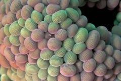 Anemone περιπλάνησης (ημέρα) Στοκ Εικόνα