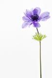Anemone που απομονώνεται μπλε στο λευκό Στοκ Φωτογραφία